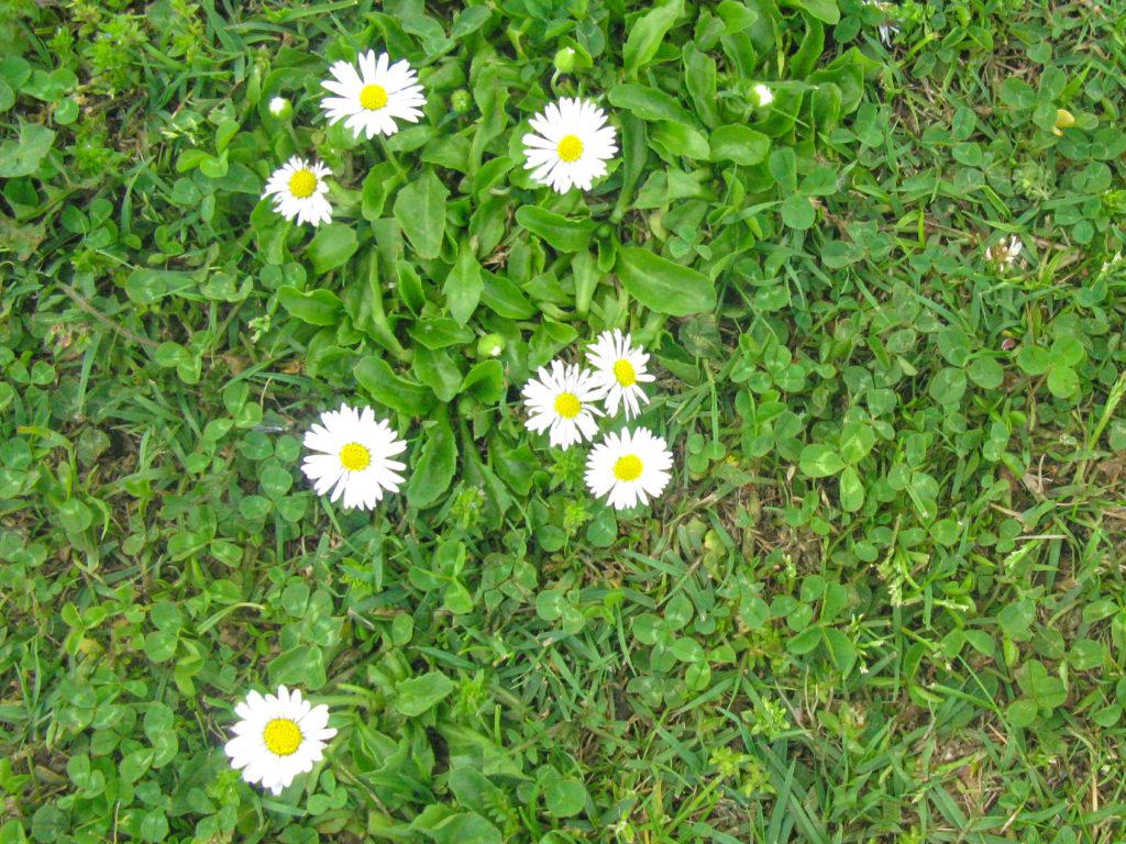 Flowers of Kashmir