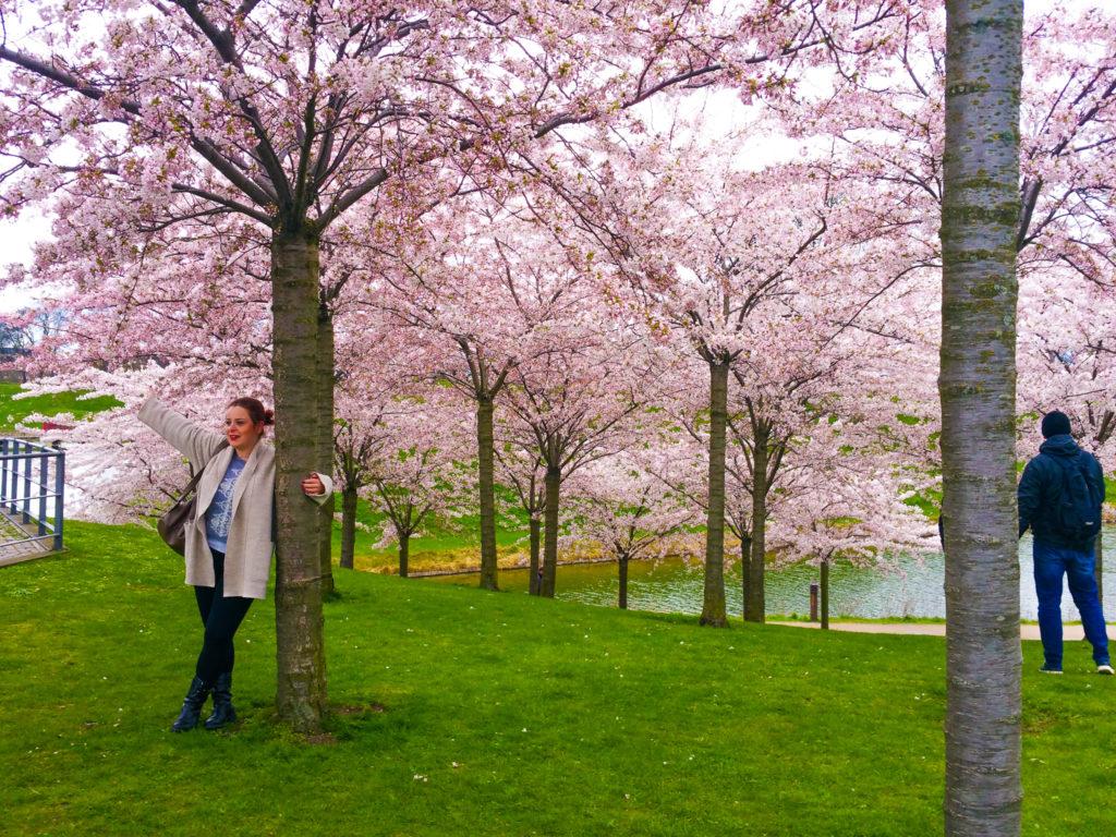 Langelinie cherry blossom
